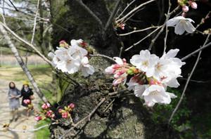 園内でほころび始めたソメイヨシノ=23日午後2時5分、浜松市西区のはままつフラワーパークで