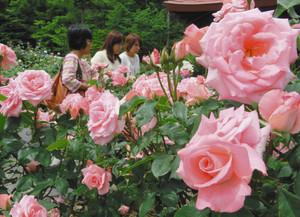 ばら園に咲き誇るバラ=伊勢市宇治中之切町の神宮ばら園で