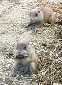 生まれたばかりのプレーリードッグの赤ちゃん=名古屋市千種区の東山動物園北園で
