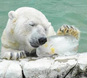 気持ちよさそうに氷に顔をつけるホッキョクグマのサスカッチ=名古屋市千種区の東山動物園で