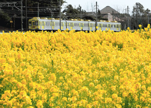 沿線に咲き誇る菜の花の中を走る特別電車の「なのはな号」=9日午後、愛知県豊橋市杉山町で(田中久雄撮影)