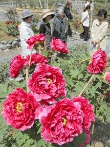 大輪の花が境内に咲き始めたぼたん苑=袋井市久能の秋葉総本殿可睡斎で