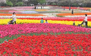 色とりどりに敷き詰められたように咲くチューリップの花=桑名市長島町のなばなの里で