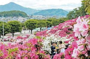 日野山をバックに、見ごろを迎えて咲き誇る色鮮やかなツツジ=鯖江市西山公園で
