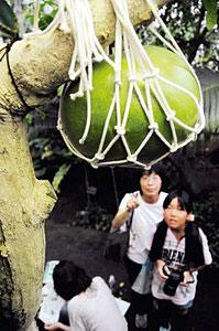 スイカが実っているような姿で来園者を楽しませるフクベノキ=県中央植物園で