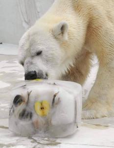 エサ入りの氷をかじるホッキョクグマのミリー=名古屋市千種区の東山動物園で