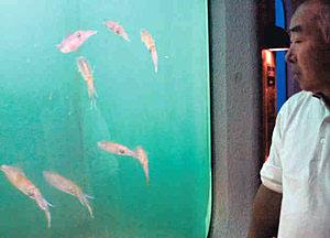 展示されているアオリイカ=七尾市能登島曲町ののとじま水族館で