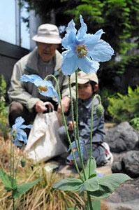涼しげな青い花を咲かすメコノプシス・ベトニキフォリア=県中央植物園で