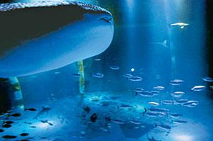 ジンベエザメ(手前左)と一緒に泳ぐクロマグロの群れ(右下)=七尾市能登島曲町で