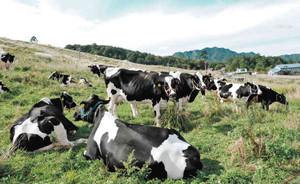 青空の下、のんびりとした時間を過ごす牛=高山市一之宮町の苅安牧場で