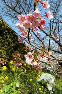青空の下、愛らしい花々を咲かせ始めた舘山寺桜=24日、浜松市西区で