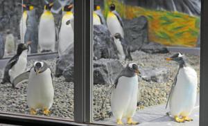 新しく仲間入りした3羽のジェンツーペンギン(手前)=坂井市の越前松島水族館で