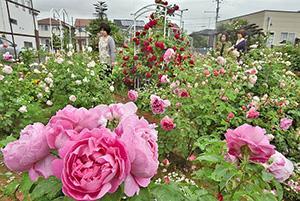 優雅な香りが漂う中、艶やかに咲き誇るバラ=坂井市春江町随応寺中央で