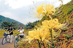 観光客らの目に留まる黄色いヒガンバナ=福井市城戸ノ内町で