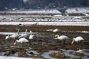 雪が解けた田んぼで餌をついばむコハクチョウ=羽咋市西潟町で