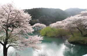 さくらの里公園で咲き誇るソメイヨシノ。ツアーでは、湖面からも眺めることができる=大台町で(同町観光協会提供、昨年4月4日撮影)