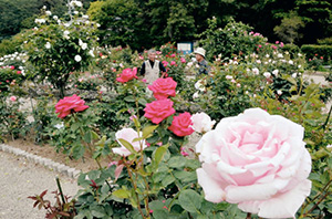 見頃を迎えた色とりどりのバラ=四日市市の南部丘陵公園で