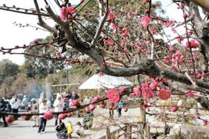 少しだけ梅の花が開き始め、にぎわう会場=鈴鹿市国分町の菅原神社で
