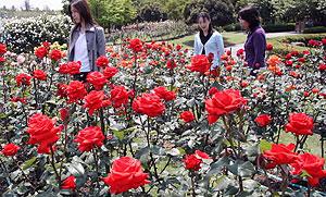 香り高いバラが咲き始めた県各務原浄化センターのバラ園=各務原市前渡西町で