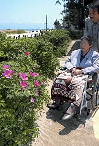 薄紫色の花を付け初夏の香りを漂わせるハマナス=氷見市の島尾海浜公園で