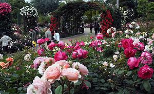 色とりどりに咲き誇るバラ=桑名市長島町駒江のなばなの里で