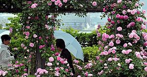 木でできたアーチを囲むように咲いたバラ=大津市柳が崎のびわ湖大津館で
