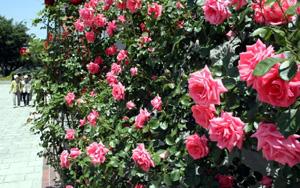 見ごろを迎え甘い香りを漂わせるバラ=安曇野市豊科近代美術館で