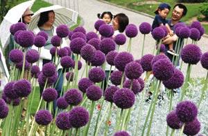 紫の大きな球状の花が初夏の風に揺れるアリウム・ギガンチューム=28日午後、浜松市西区のはままつフラワーパークで(山田英二撮影)