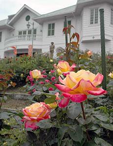 華やかな花を咲かせたバラ=恵那市明智町の日本大正村で