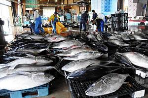 大物マグロ約250匹が水揚げされ、活気にわく荷さばき場=輪島港で