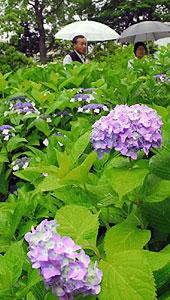 少しずつ花を咲かせ始めたアジサイ=一宮市三条の御裳神社で