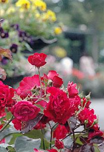 満開を迎え、来場者の目を楽しませているバラ=守山市のもりやまバラ・ハーブ園で