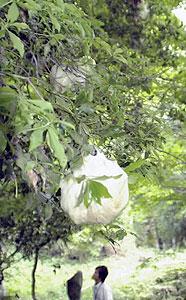 勝軍池で多く確認できるモリアオガエルの卵=郡上市八幡町で