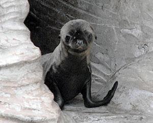 6月7日に生まれたアシカの赤ちゃん=名古屋市千種区の東山動物園で