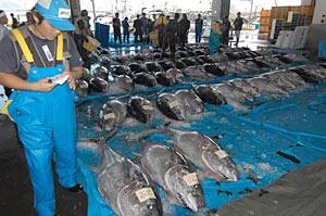 ずらりと並んだホンマグロ=氷見市の氷見漁港魚市場で