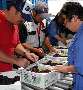 検査員らのチェックを経て出荷されるハウス栽培のデラウエア=松本市里山辺のJA松本ハイランド山辺ぶどう集荷所で