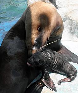 母親の八重に甘えるトドの赤ちゃん(手前)=伊勢市二見町江の二見シーパラダイスで