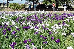 色とりどりに咲く28種類のハナショウブに見入る来園者ら=彦根市の庄堺公園で