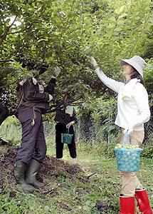 バケツに梅の実を取る湯の山温泉の女将たち=いなべ市藤原町で