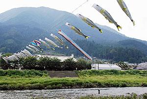 長良川に架けられ涼しげに群泳するあゆのぼり=郡上市白鳥町で