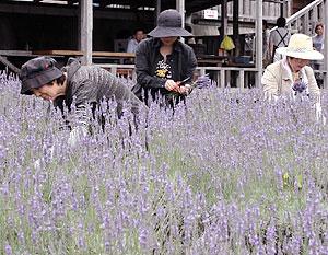 満開のラベンダーを摘み取る女性ら=土岐市鶴里町柿野で