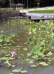 湿地を整備して復元されたハス池=鯖江市米岡町で
