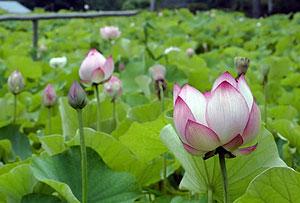 美しい花を咲かせる大賀ハス=塩尻市洗馬下小曽部の興竜寺で