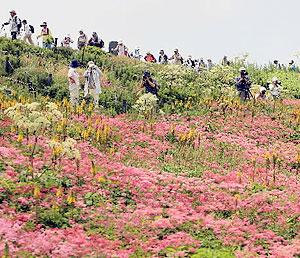 ピンク色のシモツケソウなどが咲き誇る山頂付近=米原市の伊吹山で