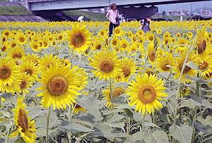 休耕田を黄色に染めるヒマワリの花=大垣市桧町で