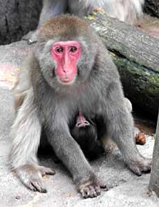 母親のおなかにしがみつくニホンザルの赤ちゃん=富山市ファミリーパーク提供