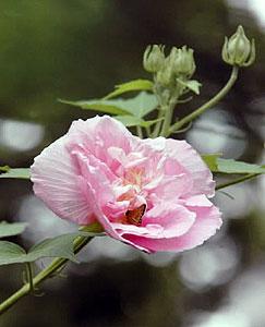 ピンク色に染まったスイフヨウ。花びらには羽を休めるチョウも=名古屋市昭和区の鶴舞公園で