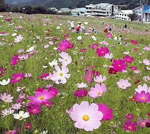 ゲレンデに秋の気配を漂わせるコスモス園=高山市丹生川町のほおのき平スキー場で
