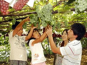 たわわに実ったブドウの房を切り取る家族連れ=塩尻市宗賀桔梗ケ原のフモンヂ観光園で