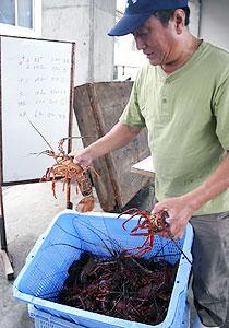 今シーズン初めて水揚げされたイセエビ=鳥羽市の菅島漁港で